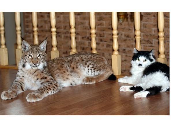 Siberian Cats Canada